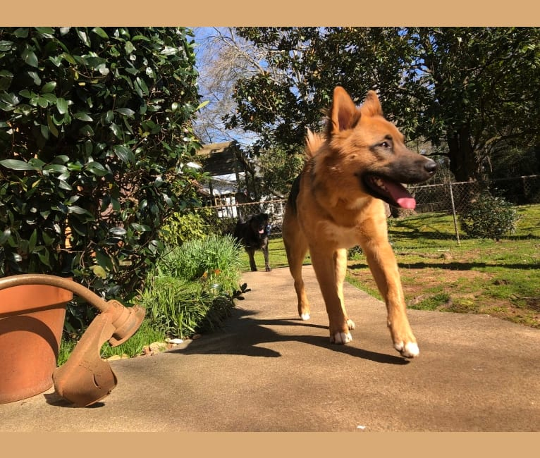 Photo of Mick, a Siberian Husky, German Shepherd Dog, Chow Chow, and American Pit Bull Terrier mix in Roswell, Georgia, USA
