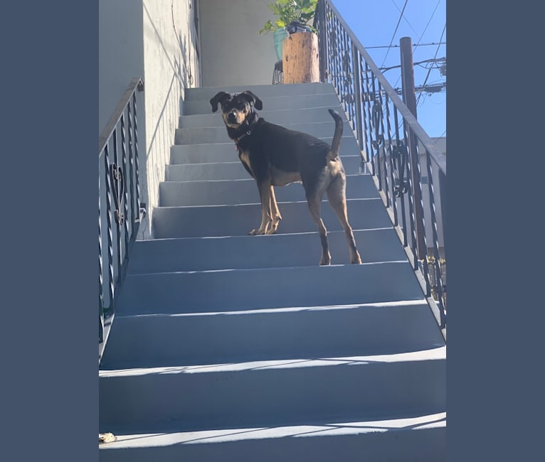 Photo of Cooper, a Treeing Walker Coonhound, Labrador Retriever, and Australian Cattle Dog mix in San Diego, California, USA