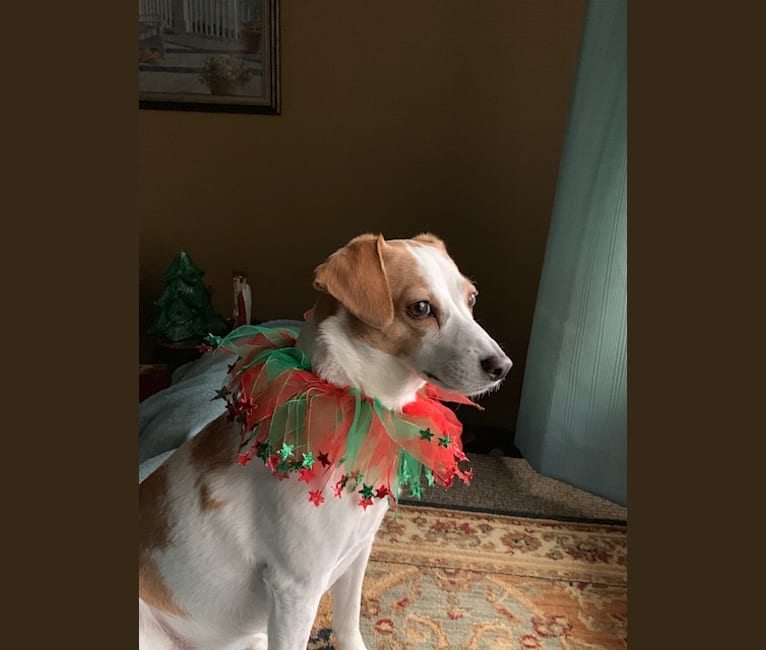 Photo of Riley, a Rat Terrier, Beagle, and Mixed mix in Tennessee, USA