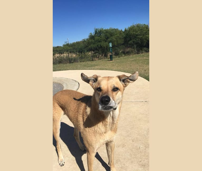 Photo of Memphis, an American Pit Bull Terrier, American Eskimo Dog, German Shepherd Dog, Miniature Pinscher, Chow Chow, and Mixed mix in Odessa, Texas, USA