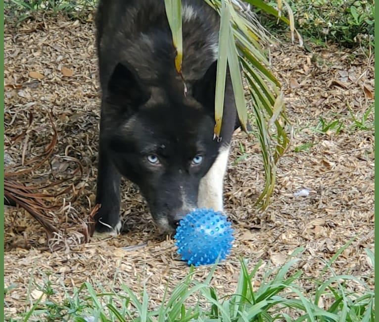 Photo of Hathor  or Hattie, a Siberian Husky  in Arcadia, FL, USA