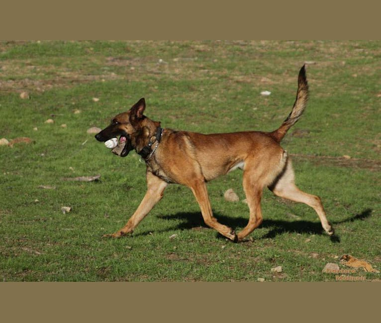 Photo of Ares, a Belgian Shepherd