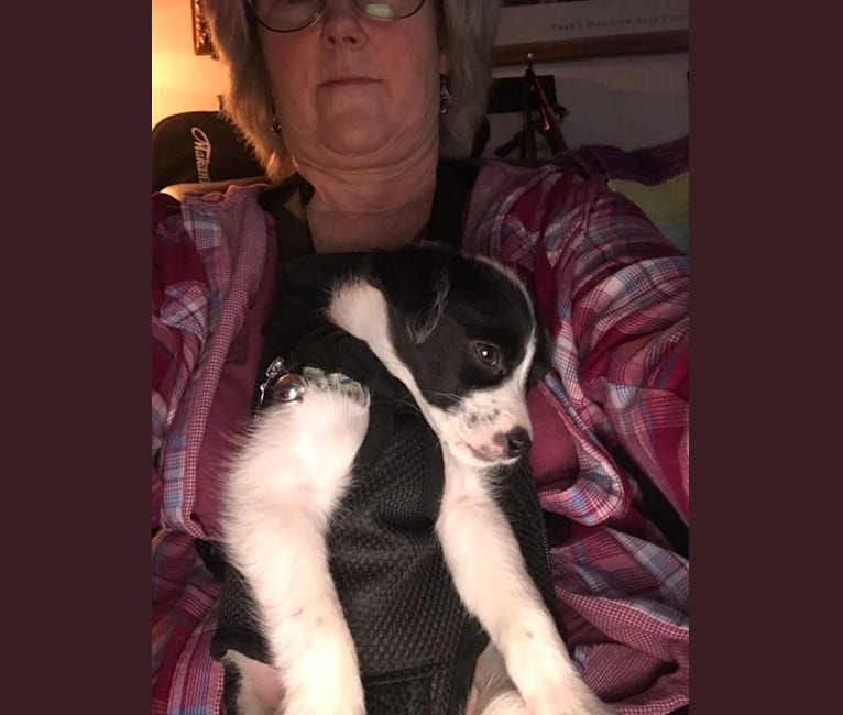 Photo of Birdie, a Poodle (Small), Miniature Pinscher, Australian Cattle Dog, American Pit Bull Terrier, and Mixed mix in Ontario, California, USA