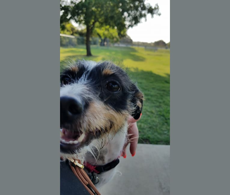 Photo of DEXTER, a Rat Terrier, Yorkshire Terrier, Chihuahua, and Mixed mix in Fort Worth, Texas, USA