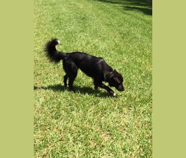 Photo of Bailey, a Siberian Husky, Alaskan Malamute, Catahoula Leopard Dog, Chow Chow, and Mixed mix