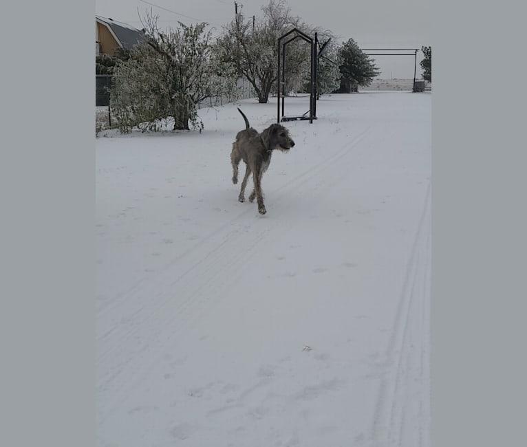 Photo of Brynn, an Irish Wolfhound  in Amarillo, Texas, USA