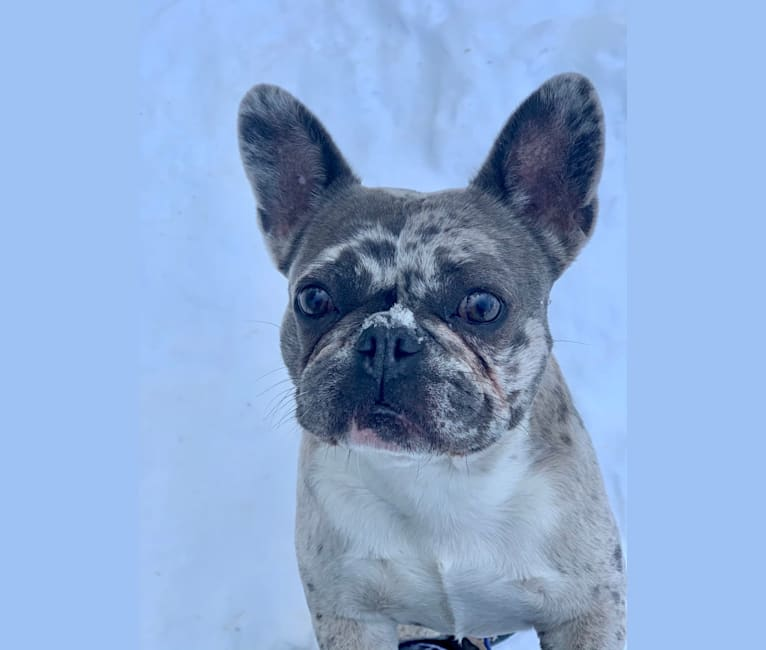 Photo of Maggie, a French Bulldog and Chihuahua mix in Worcester, MA, USA