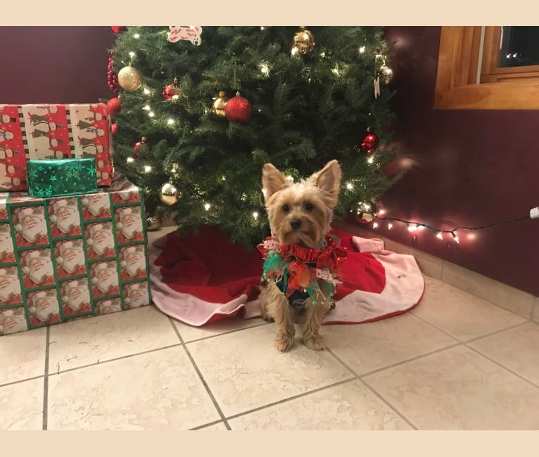 Photo of Franklin, a Yorkshire Terrier  in Newport, NH, USA