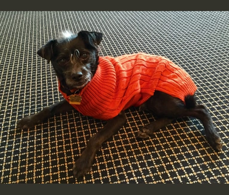 Photo of Eddie, a Poodle (Small), Chihuahua, and Mixed mix in Newton, Massachusetts, USA