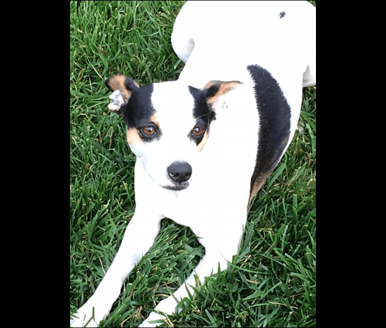 Photo of Lucy, a Rat Terrier, Russell-type Terrier, Australian Cattle Dog, and Mixed mix in Smithville, Tennessee, USA