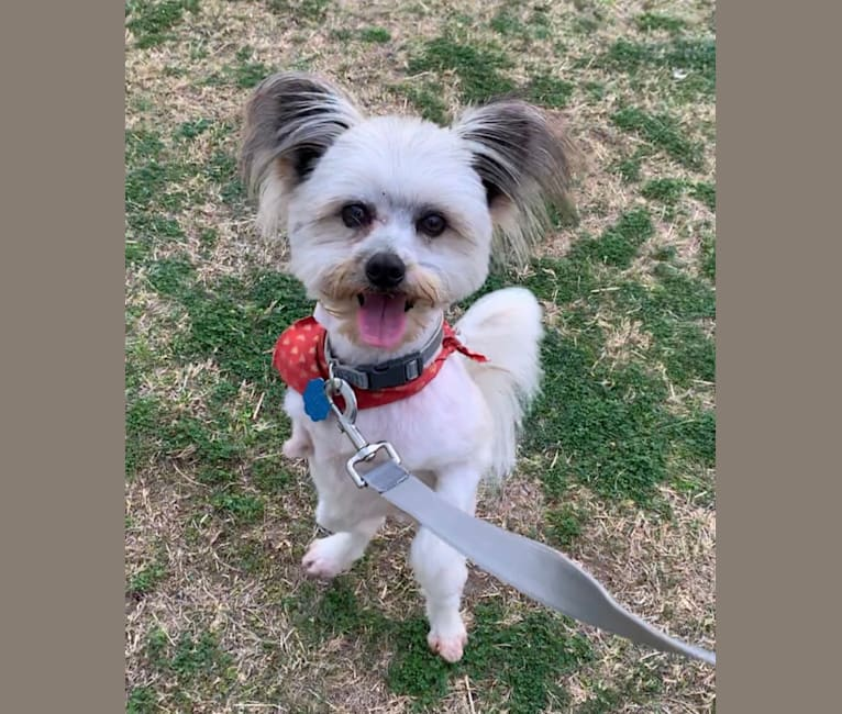 Photo of Rex, a Pomeranian, Maltese, Great Pyrenees, and Mixed mix in Austin, Texas, USA
