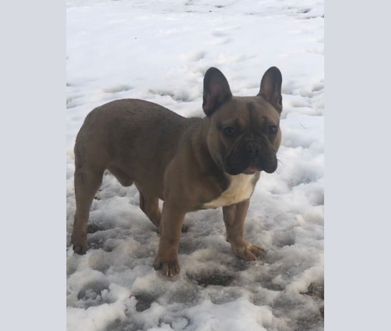 Photo of Barry, a French Bulldog  in Harrisonville, MO, USA