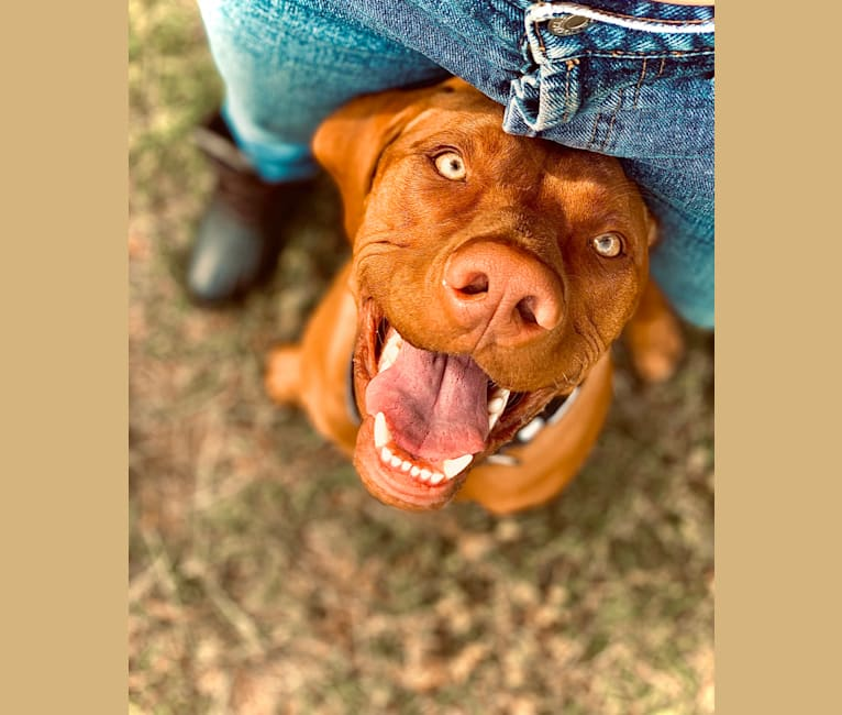 Photo of Duke, a Vizsla  in Missouri, USA