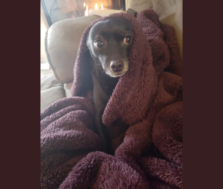 Photo of Jack, a Chihuahua, Poodle (Small), and Dachshund mix in Hesperia, California, USA