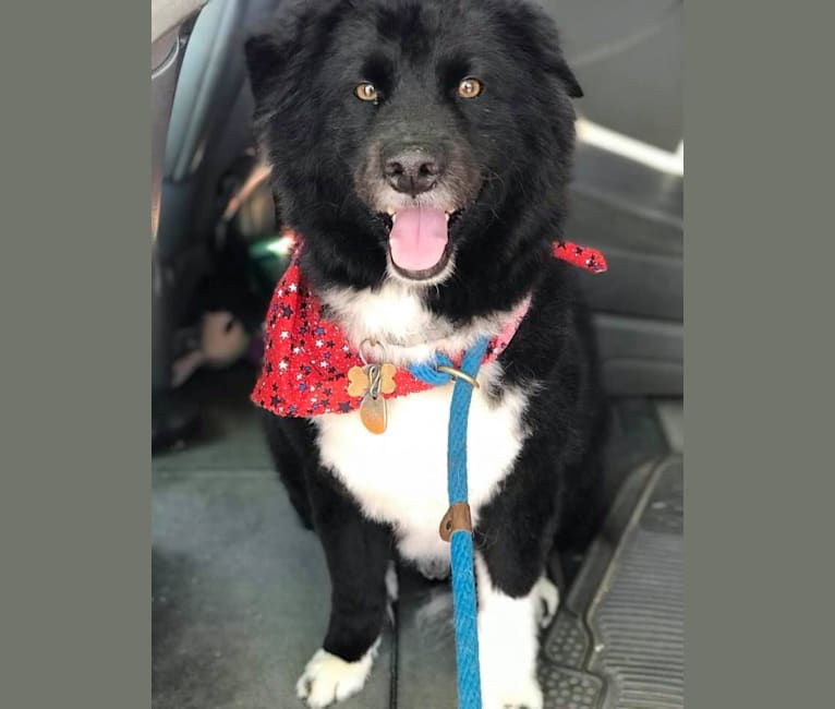 Photo of Nick, a Chow Chow, Poodle (Small), and Mixed mix in Tucson, Arizona, USA