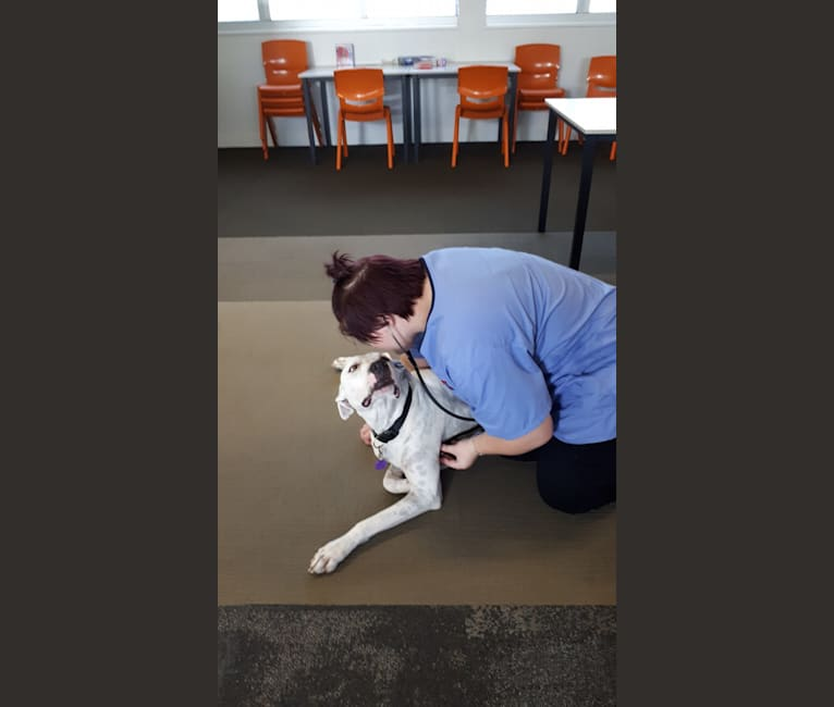 Photo of Jiggy, a Great Dane, Miniature Bull Terrier, Boxer, American Pit Bull Terrier, Bullmastiff, and Mixed mix in Townsville, Queensland, Australia