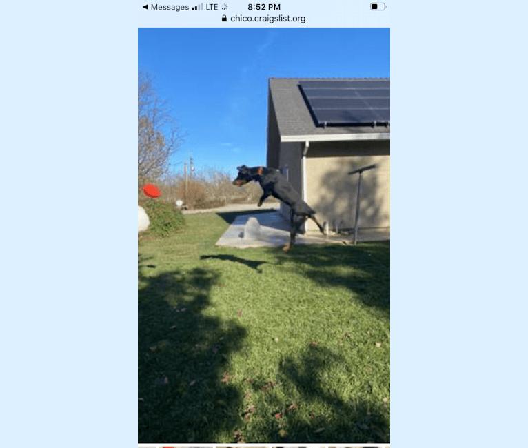 Photo of Sheba, a Doberman Pinscher and Treeing Walker Coonhound mix in Butte City, California, USA