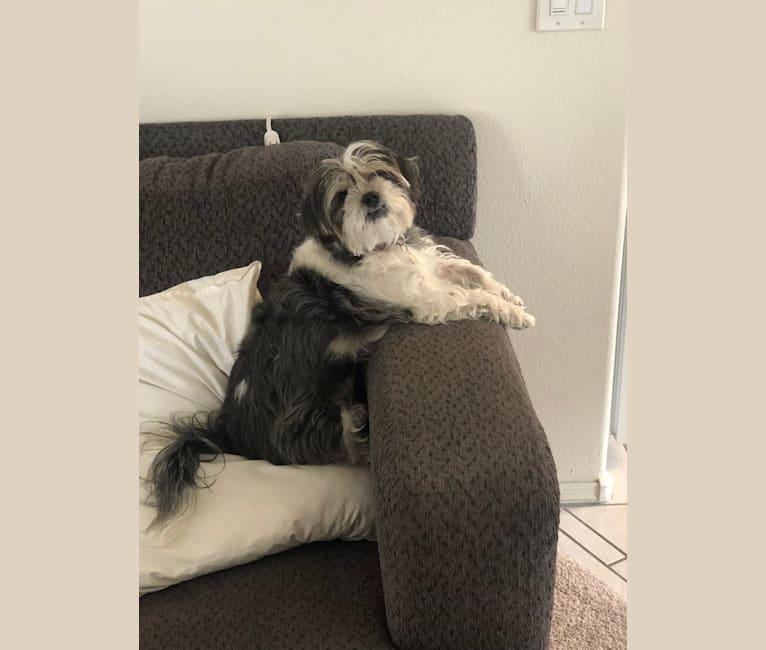 Photo of Nissa, a Yorkshire Terrier, Shih Tzu, Pekingese, and Miniature Pinscher mix in Phoenix, Arizona, USA