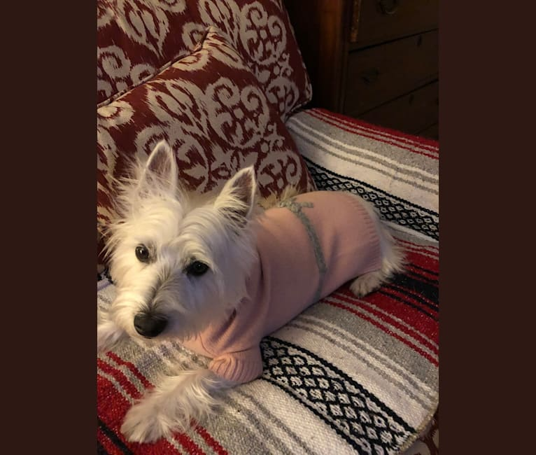 Photo of Izzi, a West Highland White Terrier