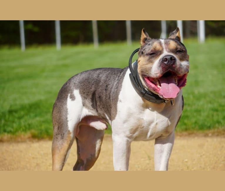 Photo of Koda, an American Bully