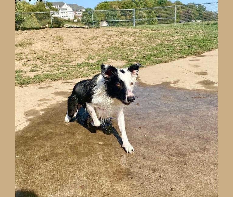 Photo of Oreo, a Border Collie  in Iowa City, Iowa, USA