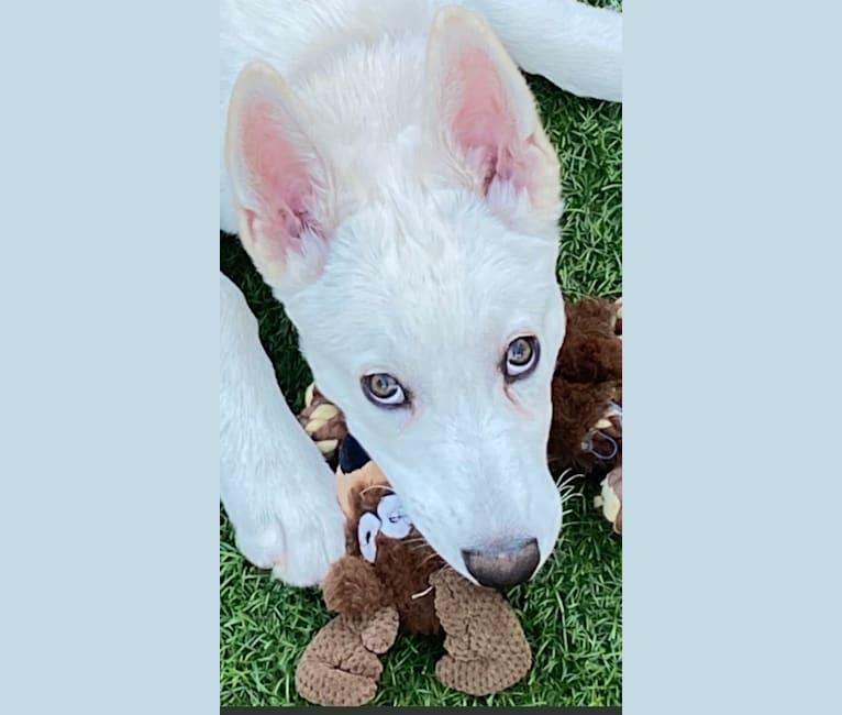Photo of Zeus Barron, a German Shepherd Dog and Siberian Husky mix in California, USA