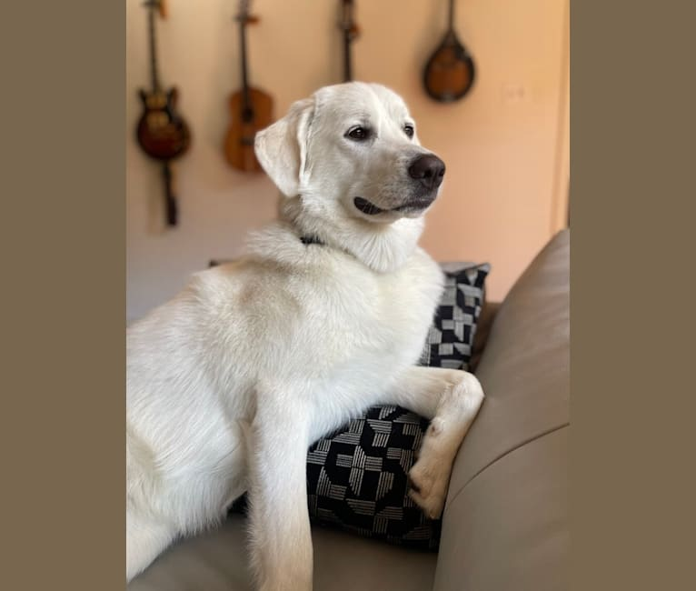 Photo of Opal, a Great Pyrenees and German Shepherd Dog mix in San Antonio, Texas, USA