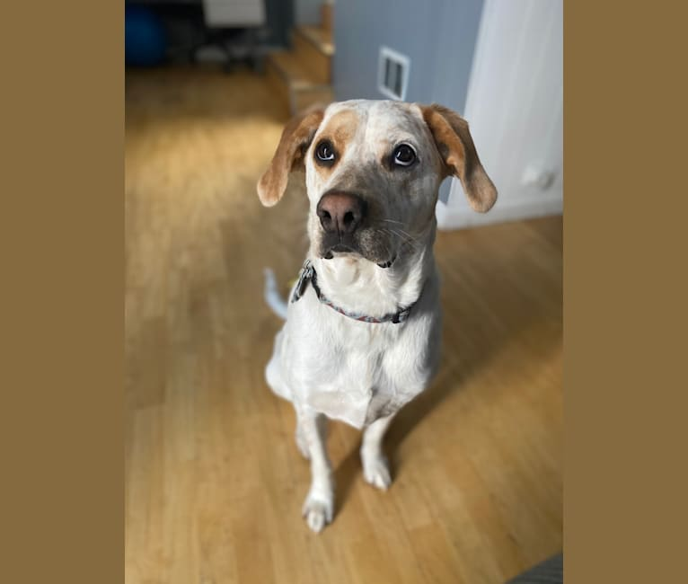 Photo of Buddy, a Boxer, Australian Cattle Dog, Boston Terrier, and Mixed mix in Missouri, USA