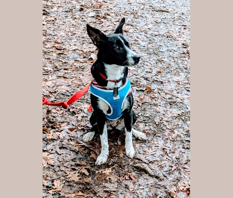 Photo of Pepper, an American Pit Bull Terrier, German Shepherd Dog, American Staffordshire Terrier, Treeing Walker Coonhound, and Mixed mix in Ohio, USA