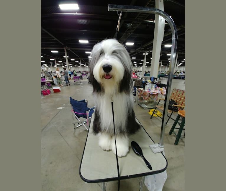 Photo of GCH Highland's Deacon Blues, a Bearded Collie  in New York, USA