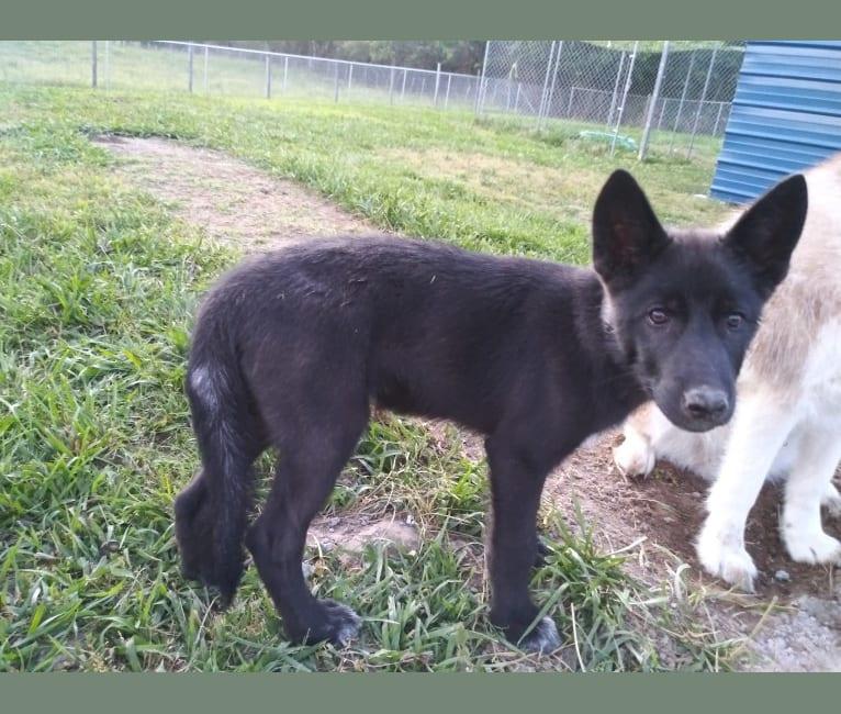 Photo of Trickster Loki, a   in Centre, AL, USA