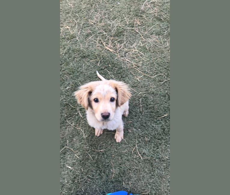 Photo of Denali, an American Pit Bull Terrier, Cocker Spaniel, Chow Chow, Labrador Retriever, and Mixed mix in Birmingham, Alabama, USA
