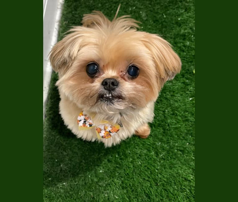 Photo of Buddy, a Yorkshire Terrier and Shih Tzu mix