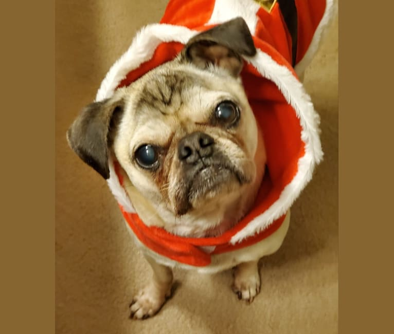 Photo of Pugsley, a Pug  in Vancouver, Washington, USA