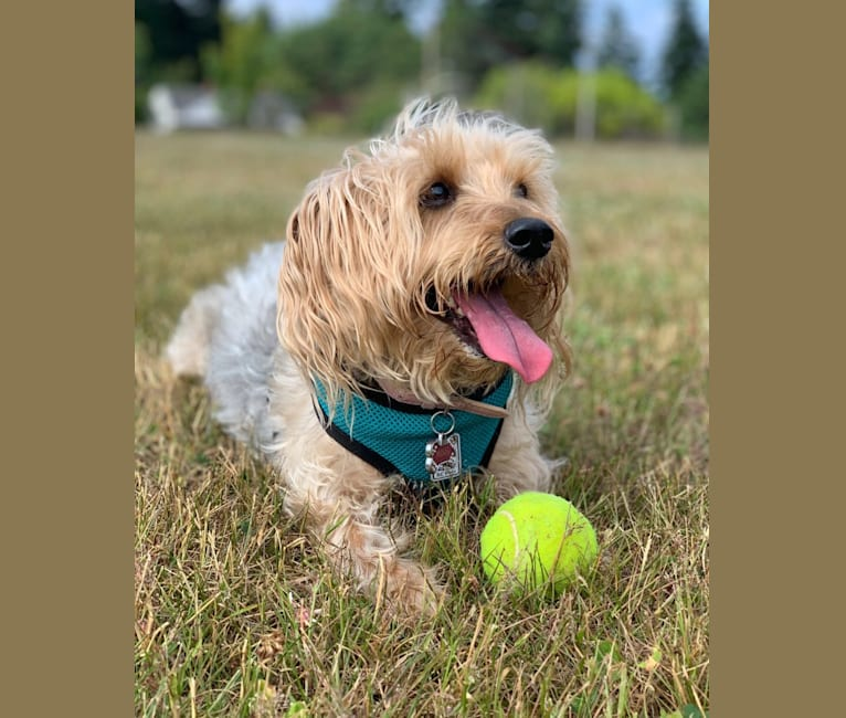 Photo of Missy, a Silky Terrier  in Missouri, USA