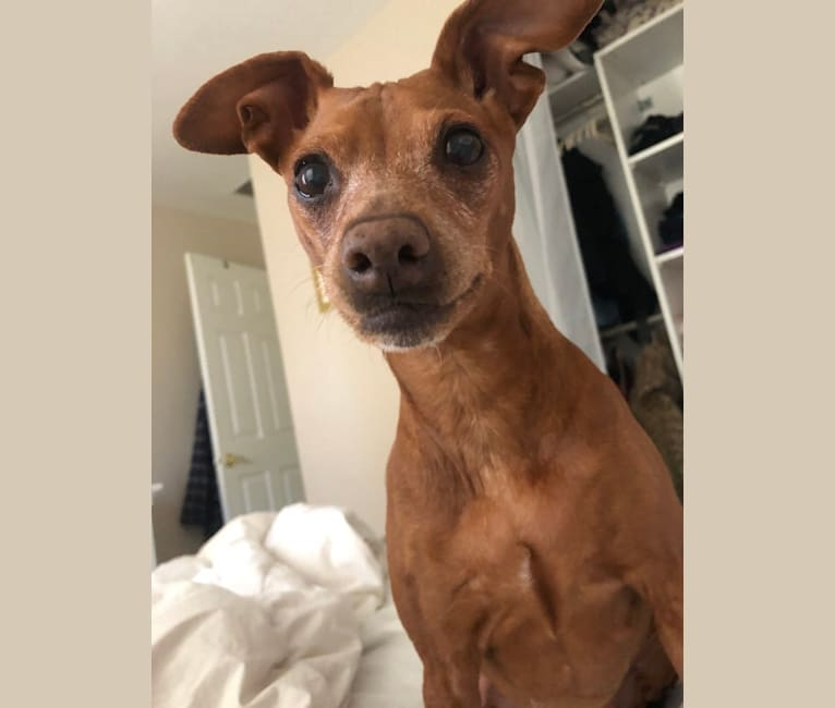 Photo of Dorothy, a Miniature Pinscher and Italian Greyhound mix in Wayne, New Jersey, USA