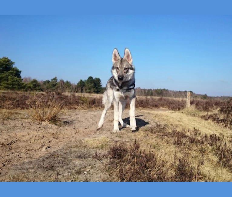 Photo of Koda, an Alaskan-type Husky, German Shepherd Dog, Siberian Husky, and Czechoslovakian Vlcak mix in Abbenbroek, Zuid-Holland, Nederland