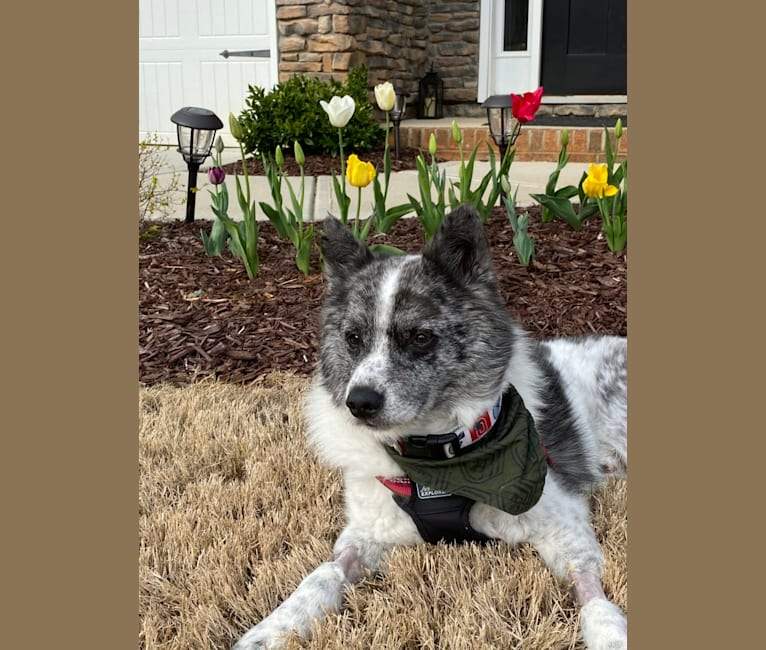 Photo of Boogie, an American Eskimo Dog, Australian Cattle Dog, and Mixed mix in Kentucky, USA