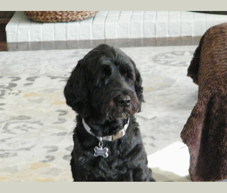 Photo of Lucky, a Portuguese Water Dog  in Michigan, USA