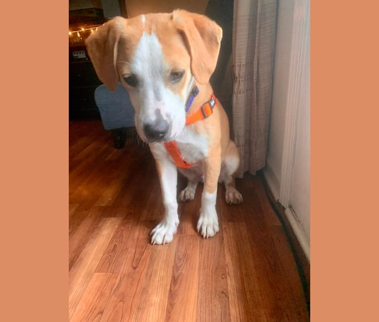 Photo of Sunny, an American Pit Bull Terrier, Labrador Retriever, and Mixed mix in Bloomington, Indiana, USA