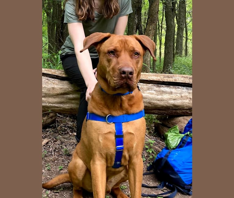 Photo of Charlie, a Boxer, Chow Chow, Australian Shepherd, American Pit Bull Terrier, Labrador Retriever, and Redbone Coonhound mix in Missouri, USA