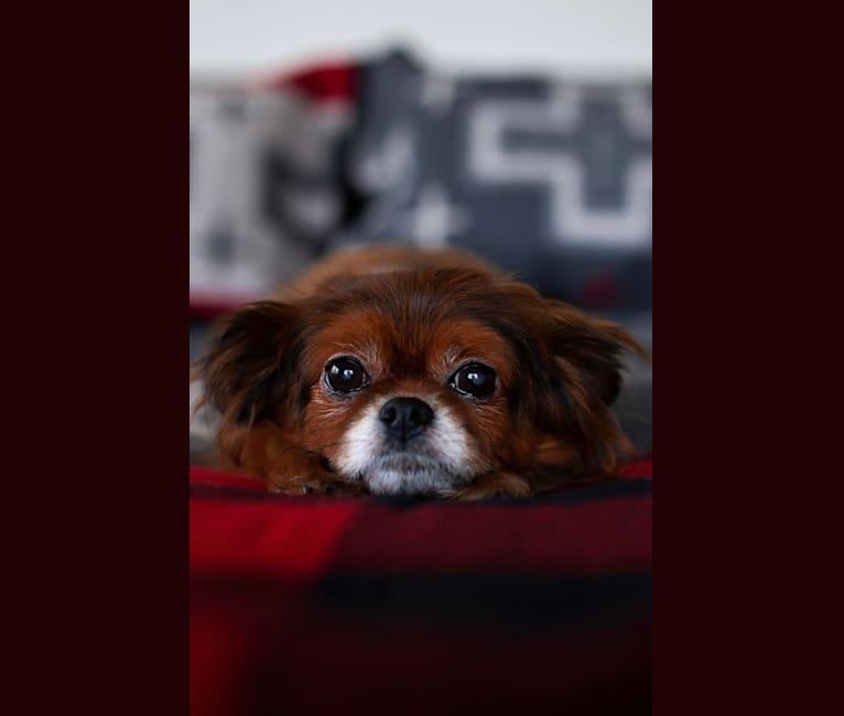 Photo of Penny, a Shih Tzu, Pomeranian, and Chihuahua mix in Sodaville, Oregon, USA