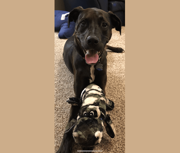 Photo of Axel, a Staffordshire Terrier, Rottweiler, and German Shepherd Dog mix in Michigan, USA