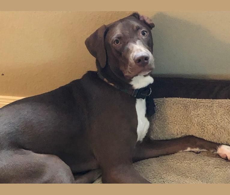 Photo of Dash, a Weimaraner, Neapolitan Mastiff, American Pit Bull Terrier, and Australian Cattle Dog mix in Laredo, Texas, USA