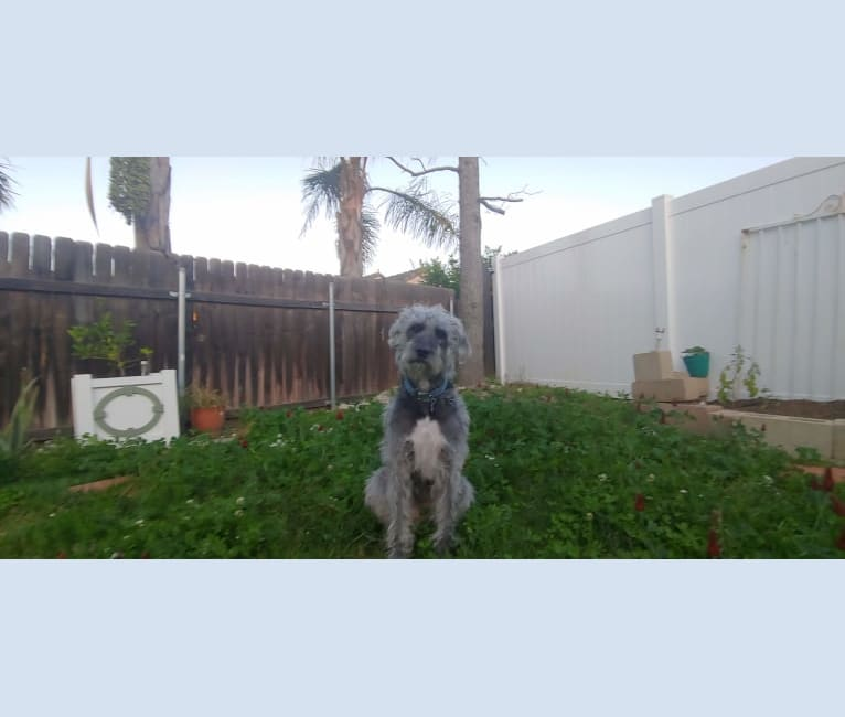 Photo of Ezra, a Poodle (Standard), American Pit Bull Terrier, and American Staffordshire Terrier mix in Rancho Cucamonga, California, USA