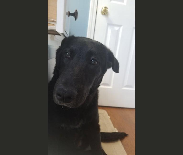 Photo of Bentley, a Labrador Retriever, Siberian Husky, and Border Collie mix in Cohutta, Georgia, USA