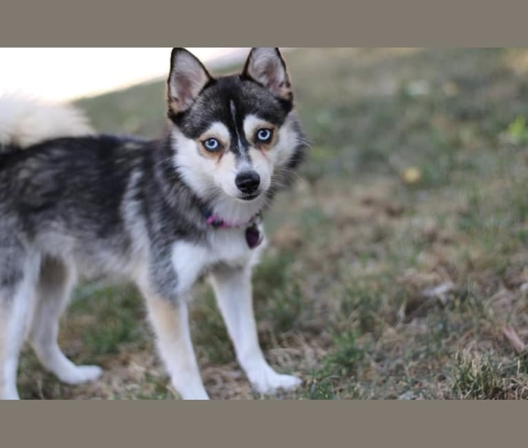 Photo of Chloe, a Pomsky  in Michigan, USA