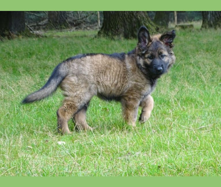Photo of DAYAH, a German Shepherd Dog  in Loenen, Nederland