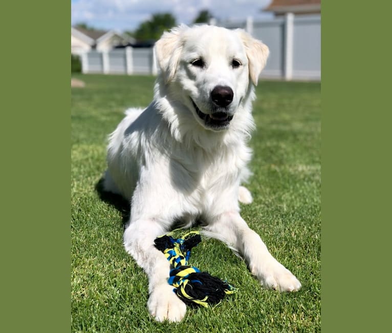 Photo of Scout, a Great Pyrenees  in Logan, UT, USA
