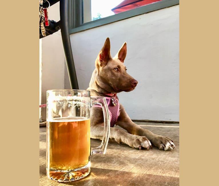 Photo of Zoey, an American Pit Bull Terrier, Siberian Husky, Alaskan Malamute, German Shepherd Dog, and Mixed mix in Tijuana, Baja California, Mexico